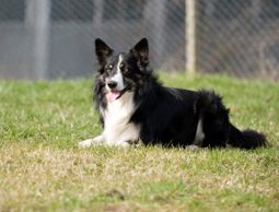 The way you train your young herding dog can affect how successful it is in working with stock. Small mistakes can turn the dog off of herding forever, so make training decisions wisely.