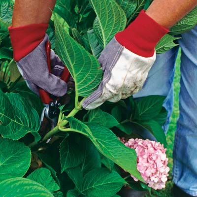 5 Tips for Growing Gorgeous Hydrangeas from THIS OLD HOUSE -- taking a cutting of a hydrangea leaf
