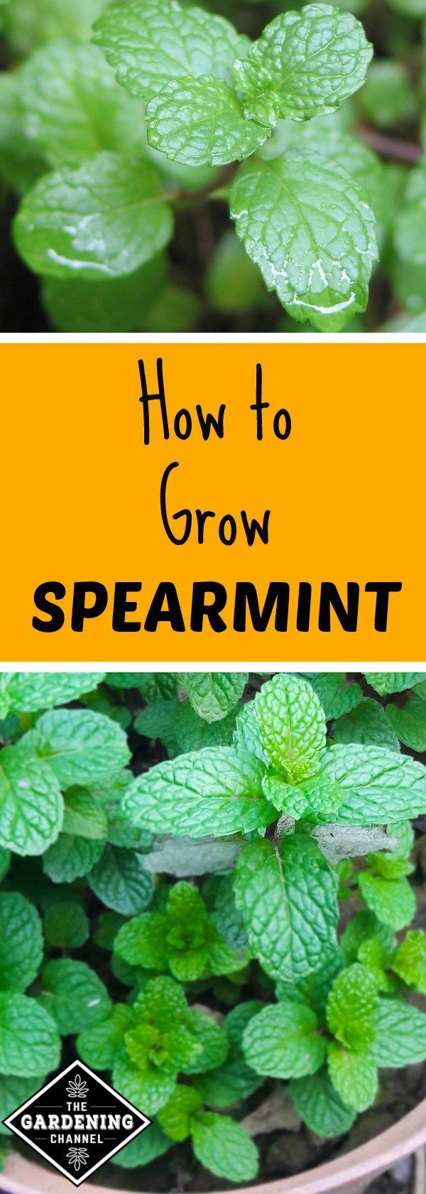 Learn how to grow spearmint in the herb garden. Spearmint is commonly used medicinally to reduce effects of irritable bowel syndrome, motion sickness, hiccups and nausea, as well as other ailments. It is also a staple of the culinary arts, usually used to flavor meat, fish and vegetable dishes.