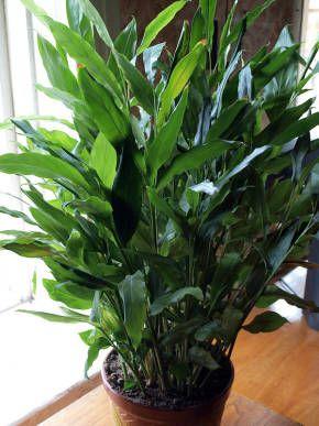 Элетария - Кардамон - Декоративно-лиственные растения - Комнатные растения - GreenInfo.ru