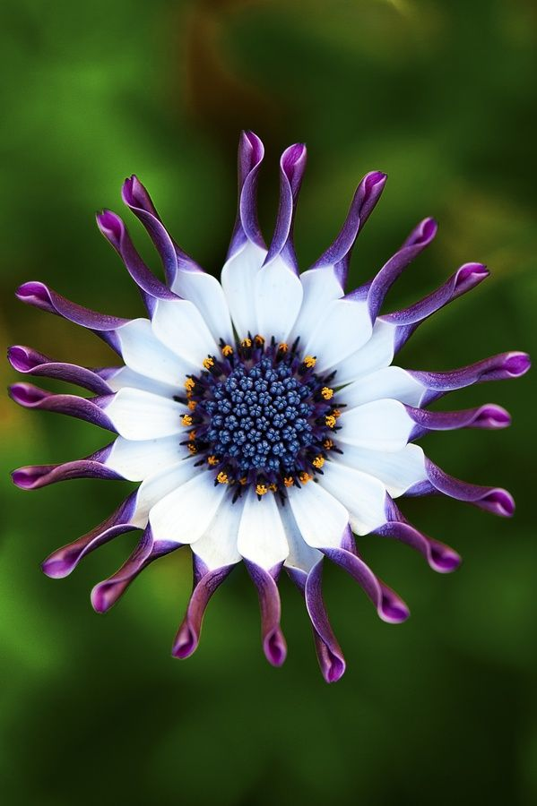 African daisy,man will never create something as beautiful or brilliant as this.
