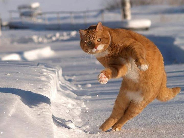 great photos of prowling and playful snow cats