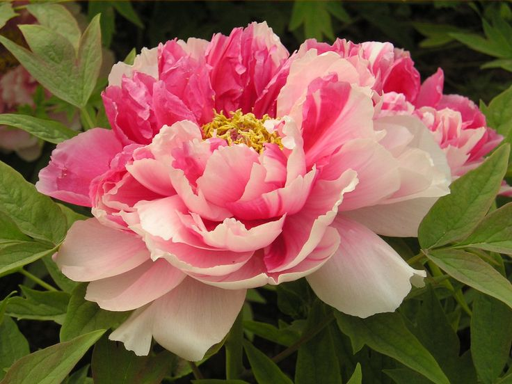 14 Best Granny Called Them Piney Roses Peonies Images On