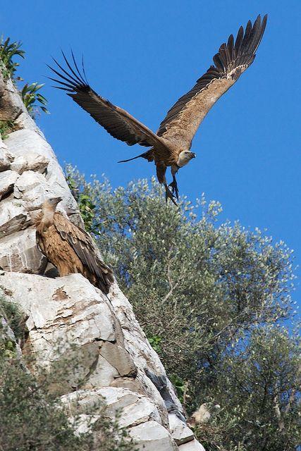 Griffon Vulture Parque Nacional de Monfragüe, Cáceres Extremadura, Spain