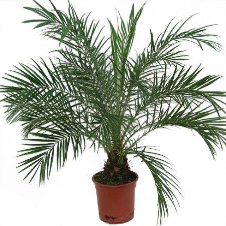 Les 25 meilleures id es concernant palmier phoenix sur for Maladie palmier interieur