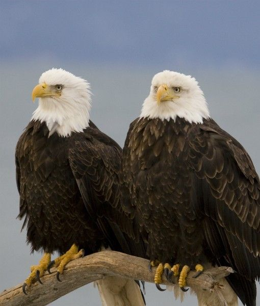 Did you know Female bald eagles are larger than male bald eagles.