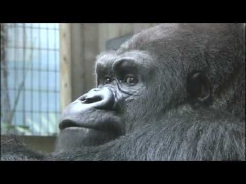 Heart to Heart: The Zoo Focuses on Gorilla Heart Health in February