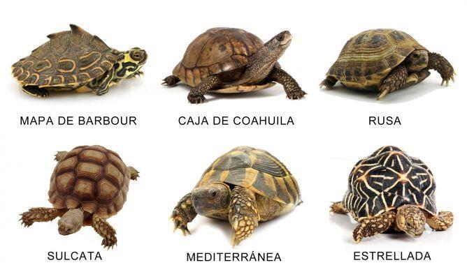 Razas de Tortugas