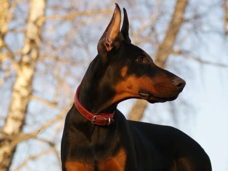 Dobermann: Der eigentlich kinderliebe Hund ist besonders aufmerksam und daher ein hervorragender Wachhund — Bild: Shutterstock / Mmaxer    www.einfachtierisch.de