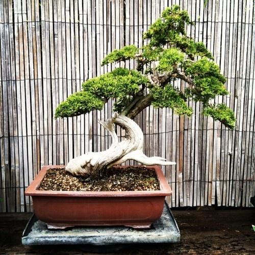 bonsai #bonsai-tree #bonsai #zen