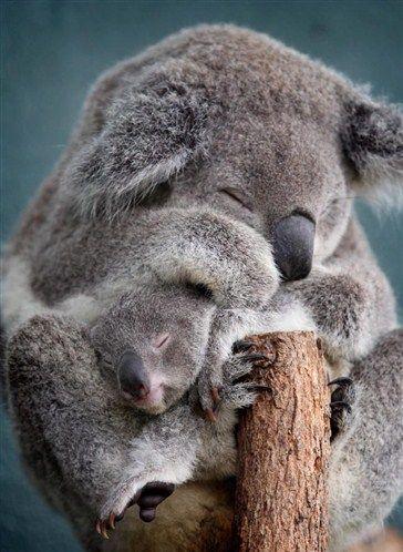 Koalas scheinen zum Kuscheln geschaffen (© Rex Features/FOTODOM.RU)