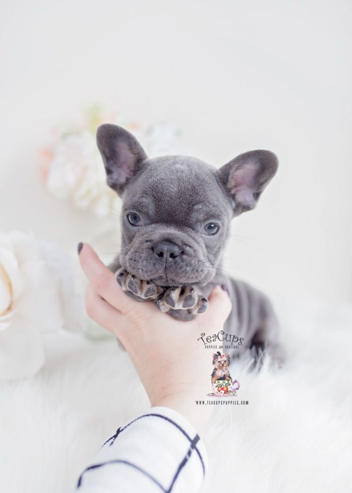 Blue And Tan French Bulldog Puppy For Sale Teacup Puppies 130 D