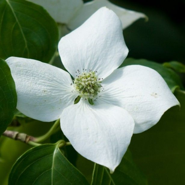 Cornus kousa China Girl - Cornouiller du Japon blanc