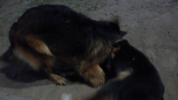 My German Shepherd Danko and Matilda playfully
