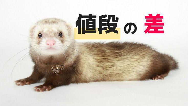 フェレットの 値段の差 とは エキゾチックアニマル 可愛すぎる動物 小動物
