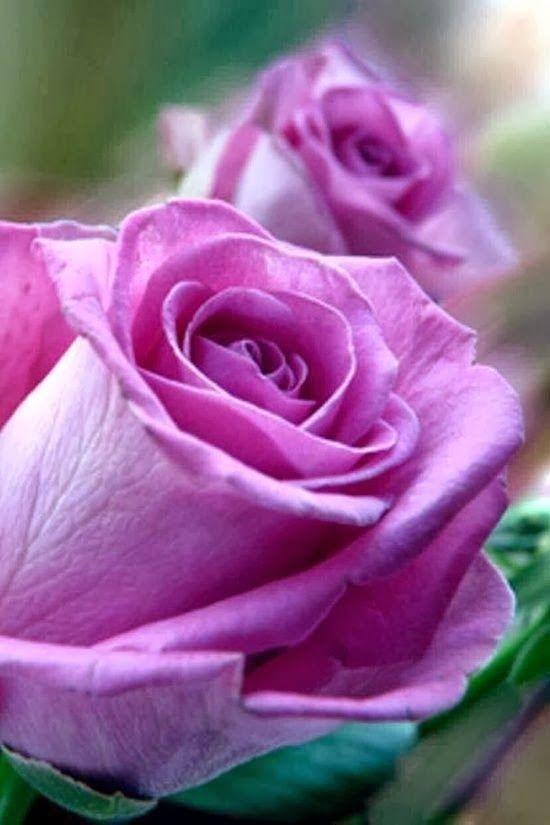 6006PX Fun Place: Sterling roses༺ ♠ ༻*ŦƶȠ*༺ ♠ ༻