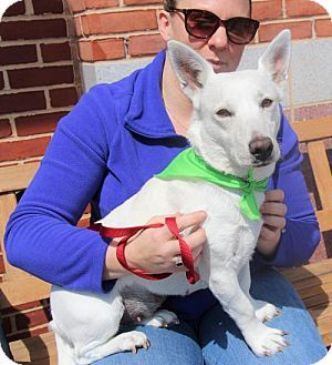 Centreville, VA - Corgi/Terrier (Unknown Type, Medium) Mix. Meet Lexi, a dog for adoption. http://www.adoptapet.com/pet/17424675-centreville-virginia-corgi-mix