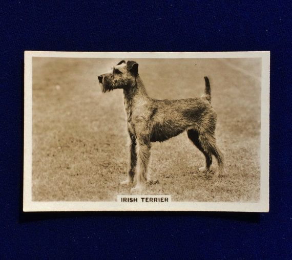 Irish terrier real photo Senior Service Cigarettes trading card from 1939, England. This collectible card is very hard to find. A real, glossy photograph measuring 3 in. x 2 in. The back of the card has training hints. In beautiful condition.