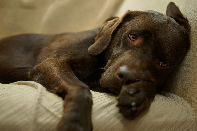 Cute chocolate Labrador puppy resting. Click on the pic for more #aww