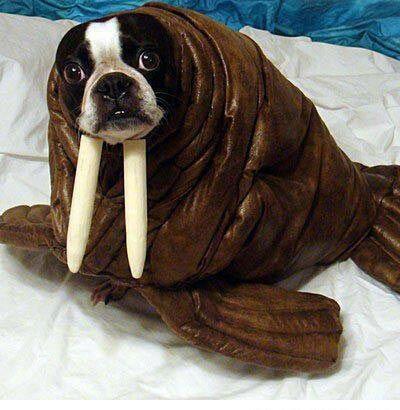 Boston Terrier #Halloween