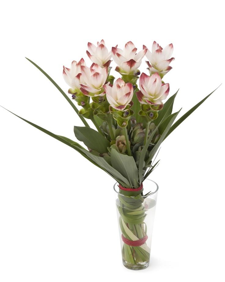 De Curcuma is typisch een plant die veel geeft en weinig vraagt. Ze staat het liefst op een lichte en zonnige plek op de vensterbank maar ook in de serre of op het balkon bij een temperatuur vanaf 15°C.