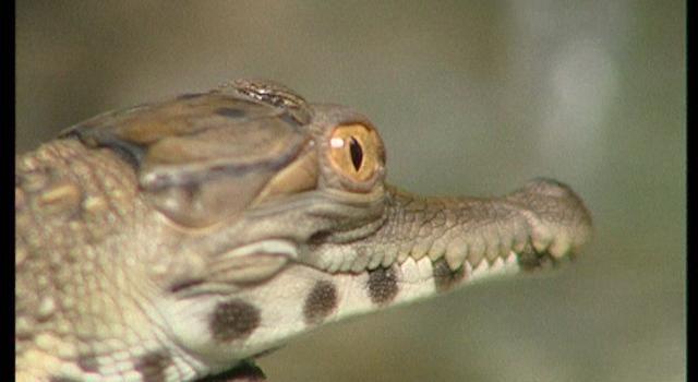 De geboorte van een krokodil