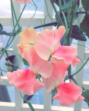 pink sweet pea from the Mediterranean Biome in Cornwall - The Eden Project