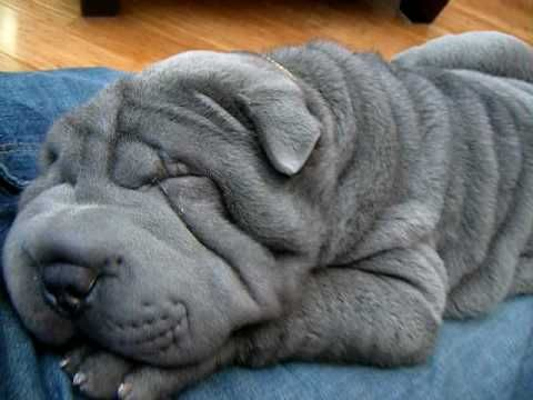 Arthur - Blue Shar Pei Puppy snoring - so cute