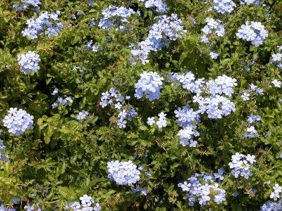 plumbago-shrub - now that mine lasted through winter and are blooming again, I am reminded how wildly they grow!