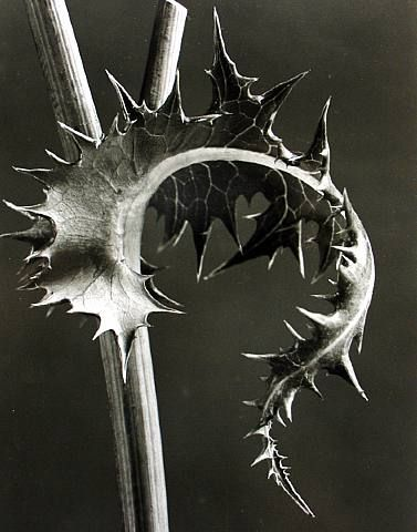 Google Image Result for http://phlearn.com/wp-content/gallery/karl-blossfeldt/artwork_images_118694_382472_karl-blossfeldt1.jpg