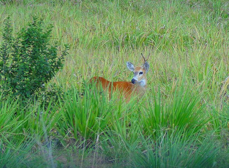 Cervo-do-pantanal (Blastocerus dichotomus), saltita entre a vegetação de savana ao redor de Bonito, cidade turística do estado do Mato Grosso do Sul, região Centro-Oeste do Brasil.  Fotografia: Lauro Sirgado.
