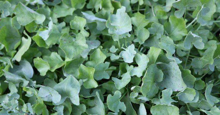 Das Echte Löffelkraut ist zweijährig, die Blätter schmecken scharf nach Kresse und sind damit eine kressescharfe Würze bis in den Winter hinein.