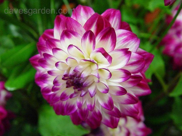 36 best dahlia varieties images on pinterest | dahlia, flowers and