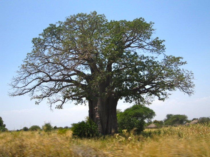 A baobab tree in Tanzania that I saw! I love these trees <3