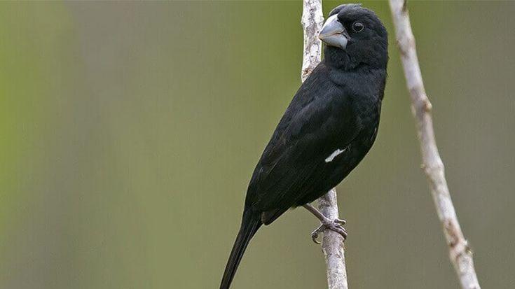 Bicudo: conheça um pássaro que participa até de campeonatos de canto