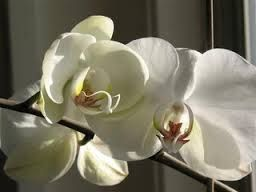 орхидеи фото в горшках уход в домашних условиях фото