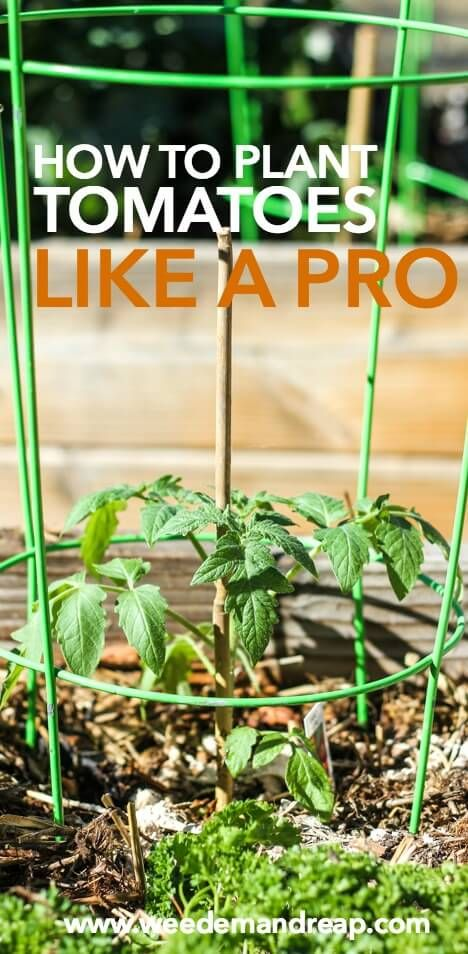 How To Plant Tomatoes Like A Pro || Weed 'Em and Reap