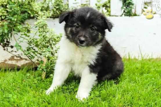 Lacey Border Collie Mix Puppy For Sale In Belleville Pa