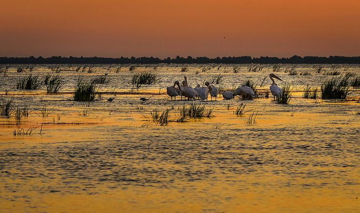 A group of white pelicans in the Danube Delta, Romania.