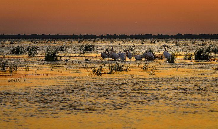 A group of white pelicans in the Danube Delta, Romania.