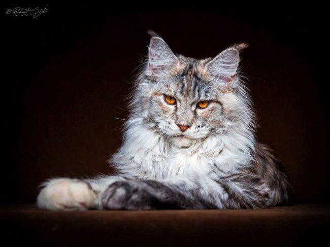 Beautifully Stunning Portraits of Maine Coon Cats by Robert Sijka. l  #mainecoon #portraits #gentlegiants