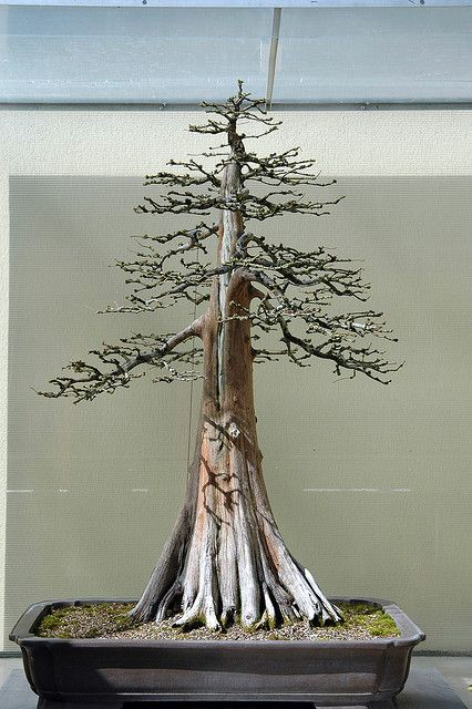 Bald Cypress Bonsai--this bonsai was created by an old friend of mine, Guy Guidry of Louisiana.