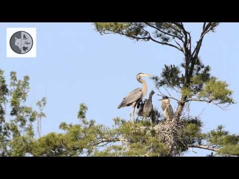 Great Blue Heron and babies on nest - Films Nature Web TV Discover the Great Blue Heron.  Subscribe :  https://www.youtube.com/user/Explorationnature Facebook :  https://www.facebook.com/pages/Dominique-Lalonde-Cinéaste-naturaliste-Wildlife-Filmmaker/175942475833403?sk=wall Twitter : https://twitter.com/explonature Web : http://www.dominiquelalonde.com/ Blog : http://dominiquelalondecom.blogspot.ca