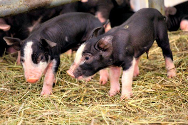 Animal handlers at Chicago's Lincoln Park Zoo came to work earlier this week to a surprise: a litter of Berkshire piglets.