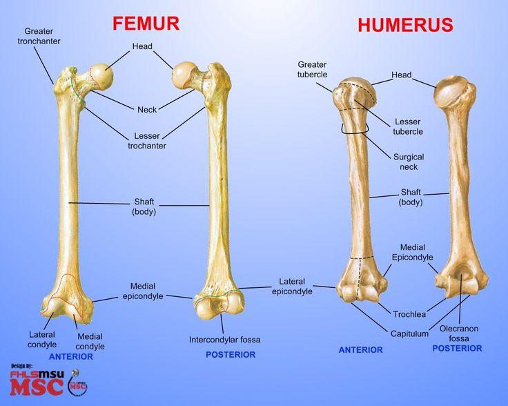 femur bone labeled differences between femur humerus elements rh pinterest com