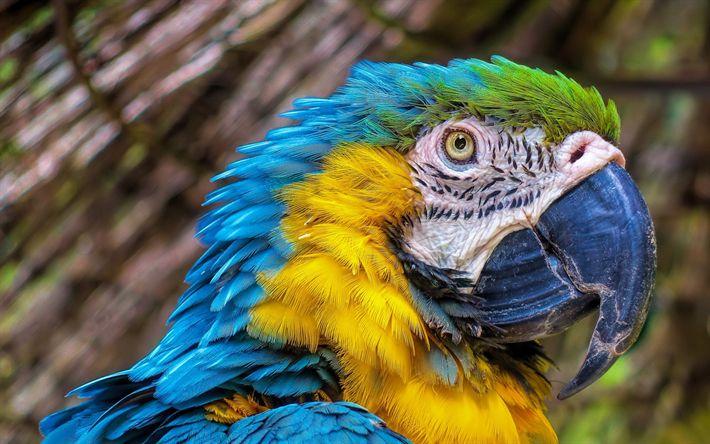 Download imagens arara, papagaio, belo pássaro, azul-amarela arara