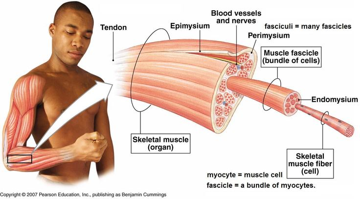 muscle structure breakdown   practical   pinterest   muscle structure, Muscles
