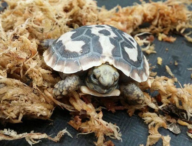 Pancake Tortoise hatchling at Como Zoo