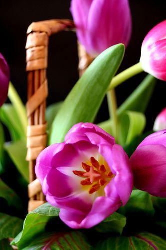 tulips.                 ~                                        AMAZING COLOR❗️❗️ ➕‼️‼️‼️➕‼️