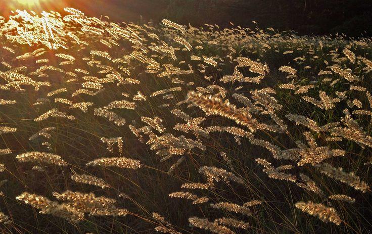 Grusslok, Melica ciliata, Pearl grass. Östergarn. www.gotlandnature.com